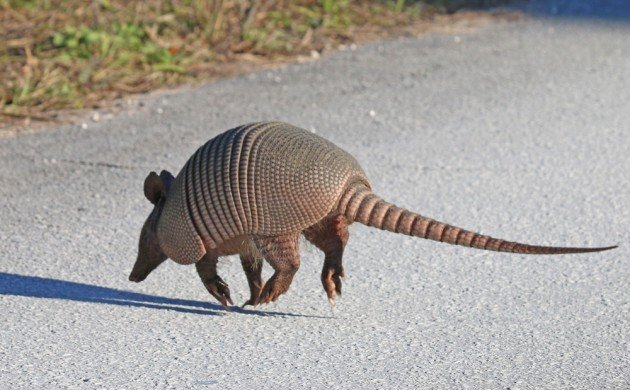 Nine-banded Armadillo running across the road