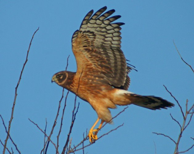 Northern Harrier landing with open wing