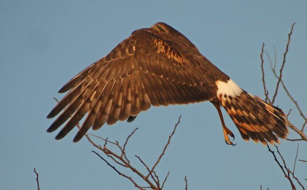 Northern Harrier taking off