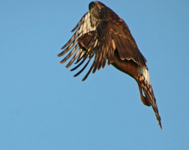 Northern Harrier through wing