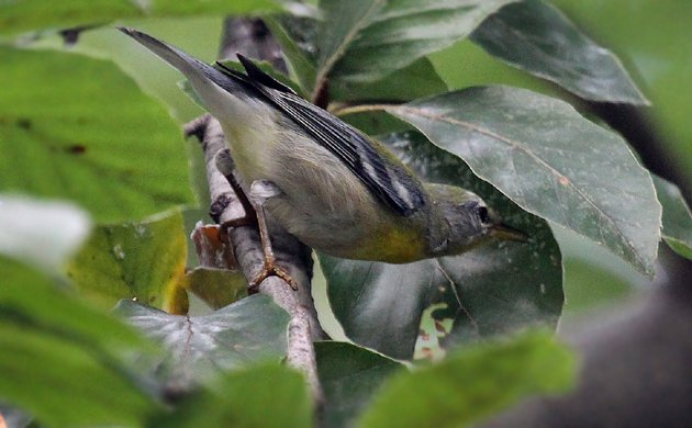 Northern Parula eating