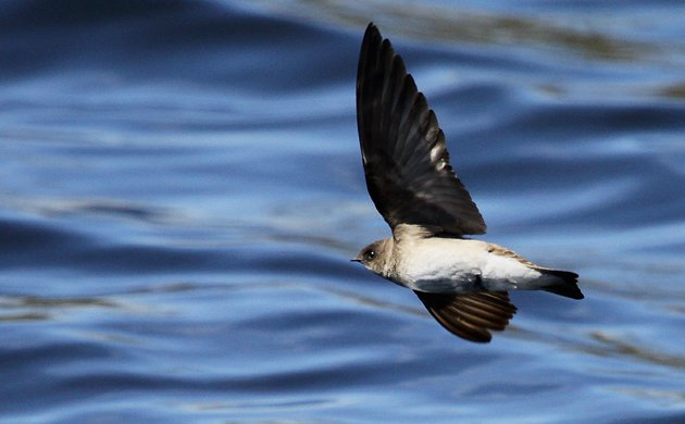 Northern Rough-winged Swallow low over the water