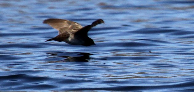 Northern Rough-winged Swallow going after prey