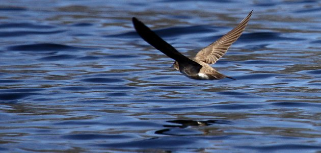 Northern Rough-winged Swallow going away