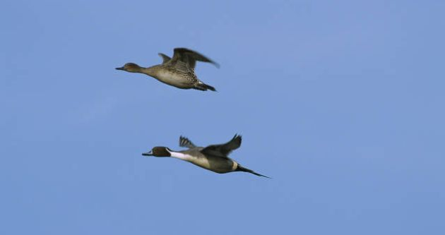 Flying Northern Pintails
