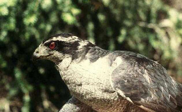 What's in a Name: Northern Goshawk
