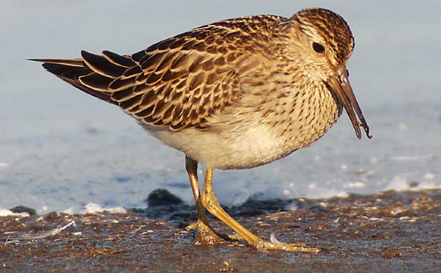 Pectoral Sandpiper eating