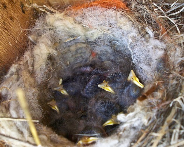 Oak Titmouse Nestlings