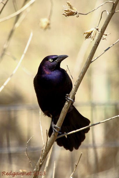 ORD 22Apr13 Common Grackle 01
