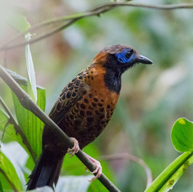 Ocellated Antbird by Josh Beck