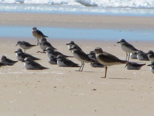 Oriental Plover and shorebirds