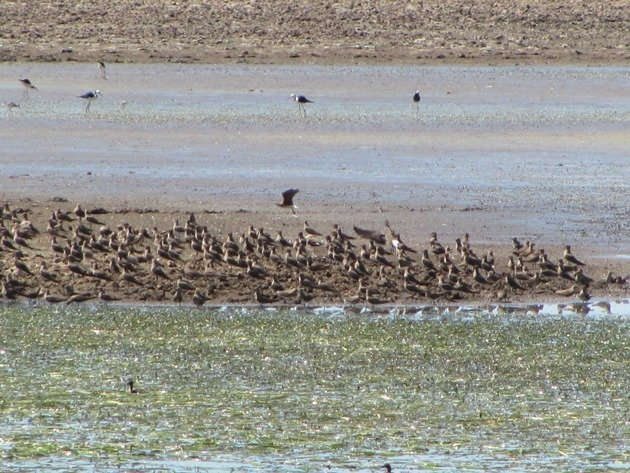 Oriental Pratincoles & Black-winged Stilt