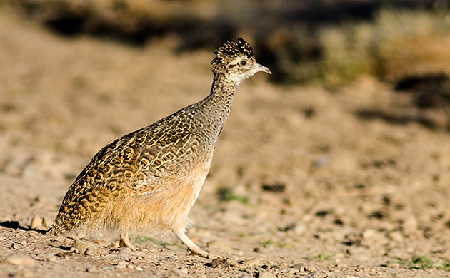 Ornate Tinamou Adult