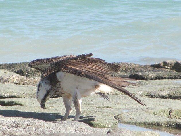 Osprey (2)