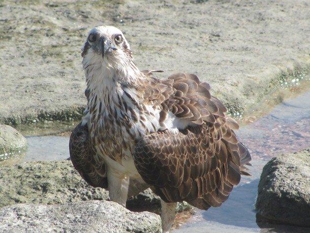 Osprey (6)