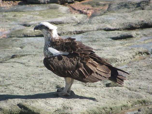 Osprey (9)