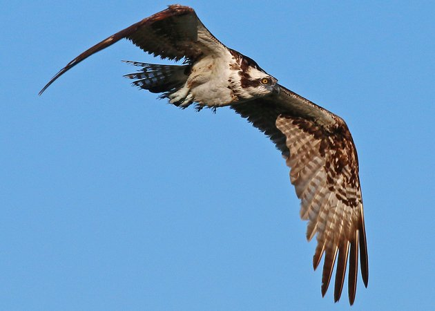 Osprey by Corey Finger