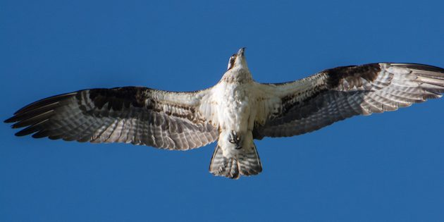 An Osprey Nest and The Migratory Bird Treaty Act