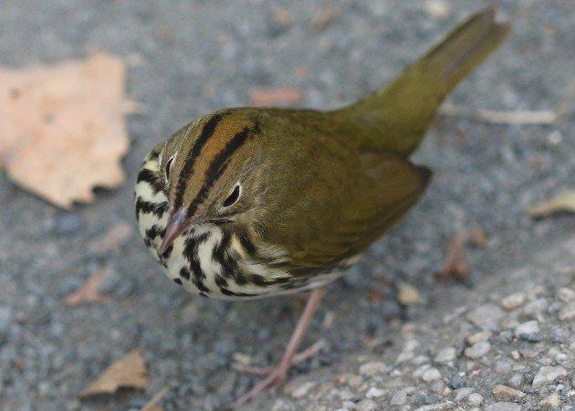 Ovenbird at Bryant Park 2