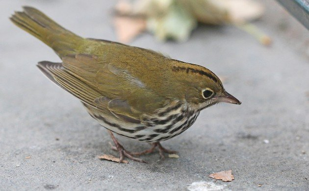 Ovenbird at Bryant Park