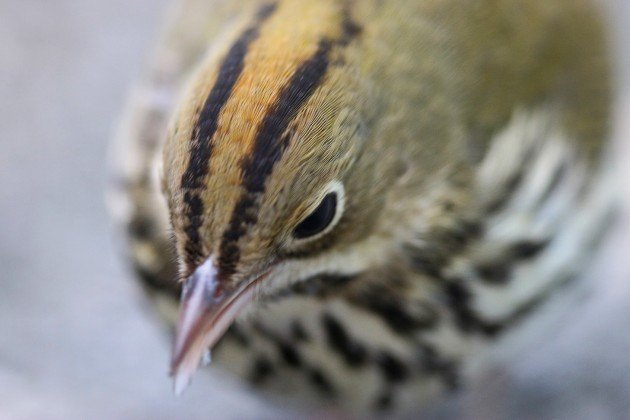 Ovenbird extreme close up
