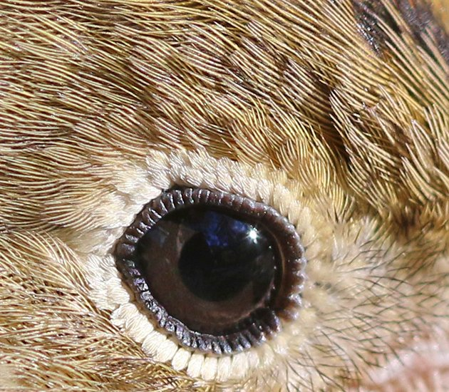 Ovenbird eye