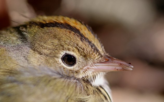 Ovenbird feature