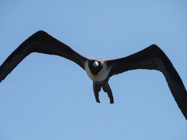 frigatebird, birding, north carolina