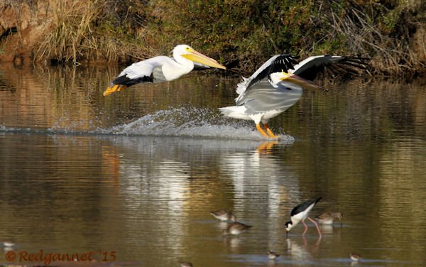 PHX 08Jan15 American White Pelican 02