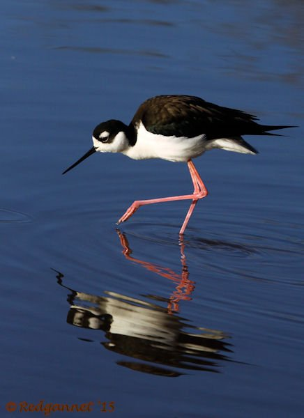 PHX 08Jan15 Black-necked Stilt 17