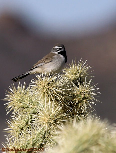 PHX 08Jan15 Black-throated Sparrow 01