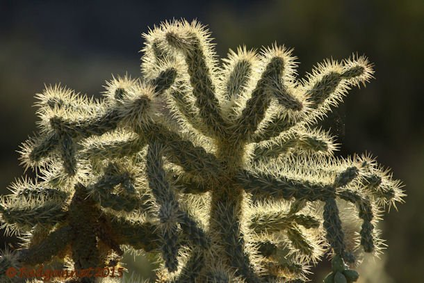 PHX 08Jan15 Cholla Cactus 01