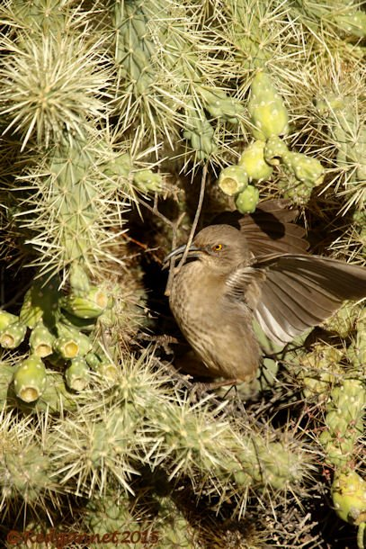 PHX 08Jan15 Curve-billed Thrasher 01