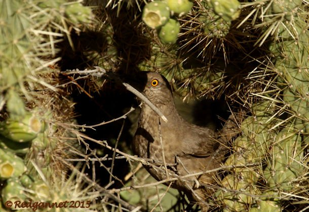 PHX 08Jan15 Curve-billed Thrasher 02