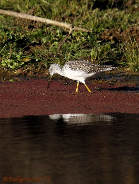 PHX 08Jan15 Greater Yellow-legs 04