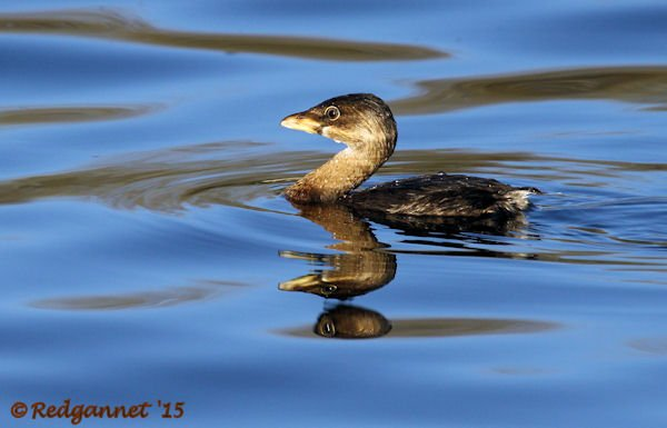 PHX 08Jan15 Pied-billed Grebe 02