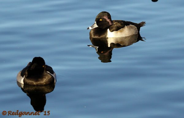 PHX 08Jan15 Ring-necked Duck 01