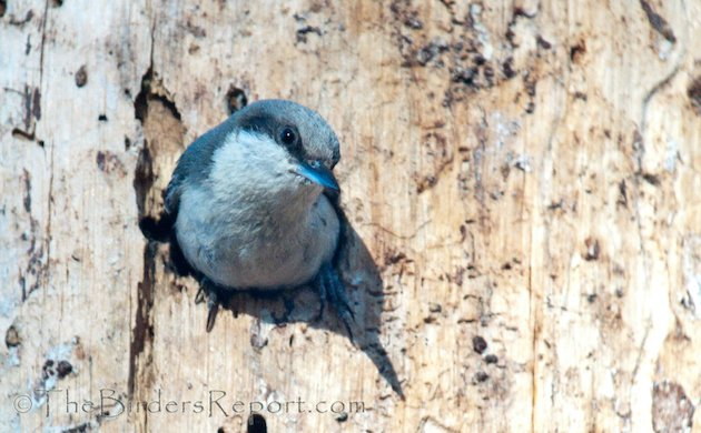 Pygmy Nuthatch at Cavity Entrance