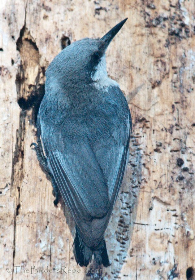 Pygmy Nuthatch at Lassen Volcanic National Park