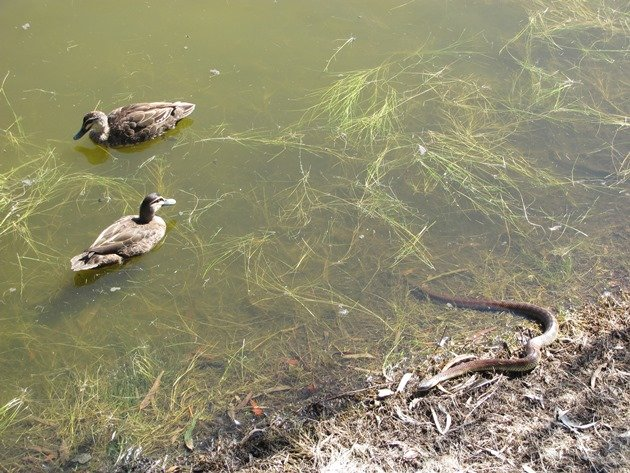 Pacific Black Ducks & Tiger Snake (2)