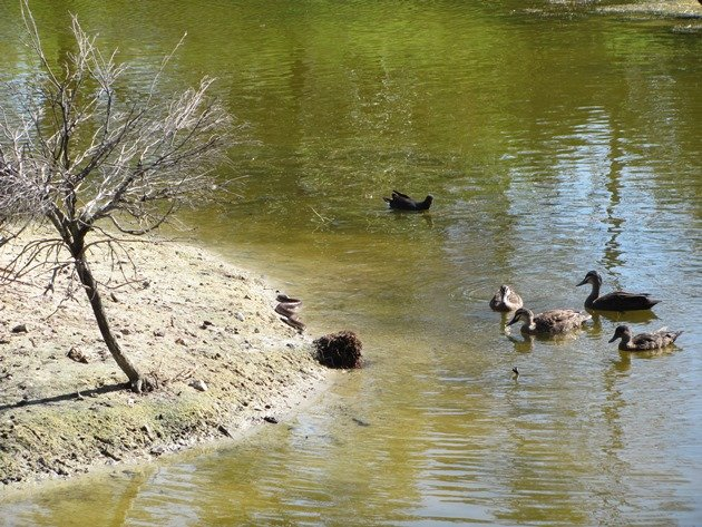 Pacific Black Ducks & Tiger Snake (3)