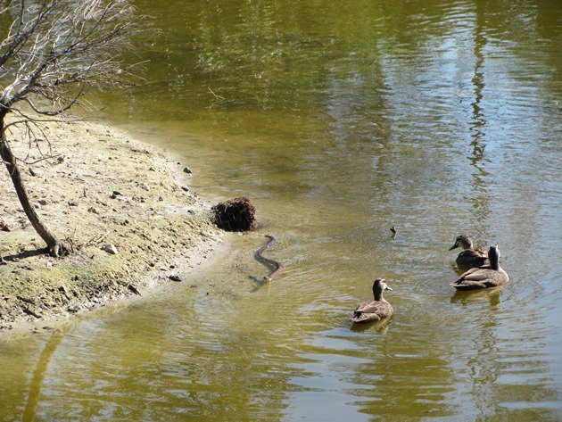 Pacific Black Ducks & Tiger Snake (6)