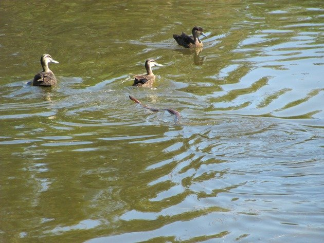 Pacific Black Ducks & Tiger Snake