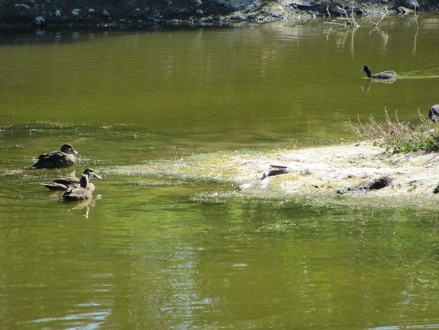 Pacific Black Ducks,Eurasian Coot & Tiger Snake