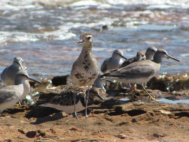 Pacific Golden Plover, Grey-tailed Tattlers and Ruddy Turnstone