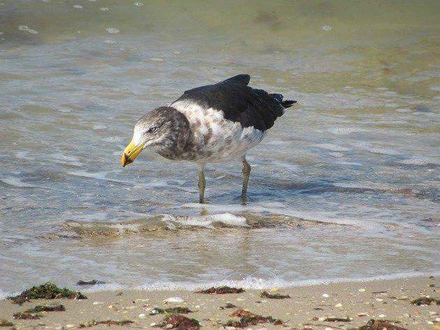 Pacific Gull (2)