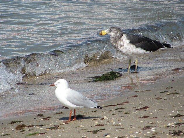 Pacific Gull & Silver Gull