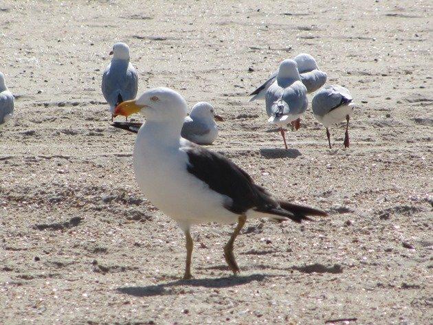 Pacific Gull & Silver Gulls