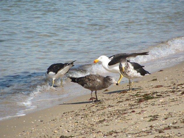 Pacific Gulls (2)