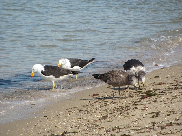 Pacific Gulls (3)